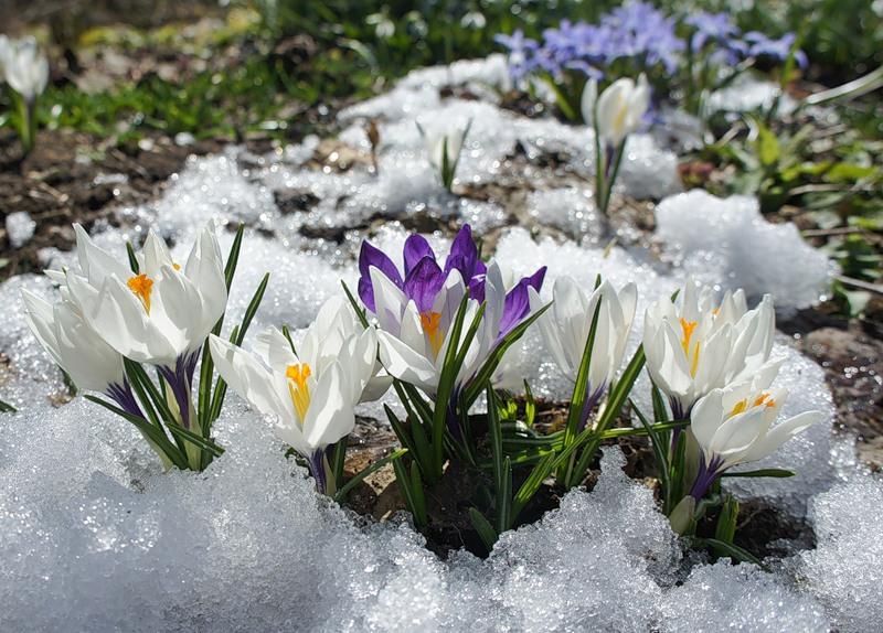 Фото весенние цветы под снегом
